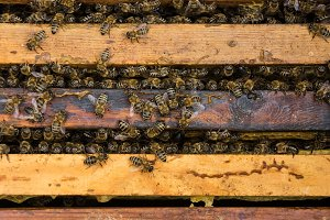 the working bees on honeycells