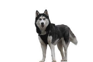 Husky dog breed on white background