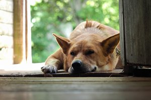 The dog is big, red's asleep on the doorstep of a village house