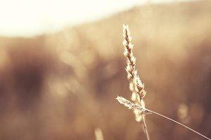 Sunlit Grass In Field