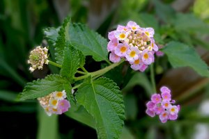 Delicate lantana flowers at garden