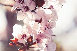 Romantic Spring Cherry Blossoms