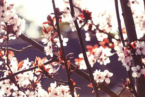 Sunlit Spring Cherry Blossoms