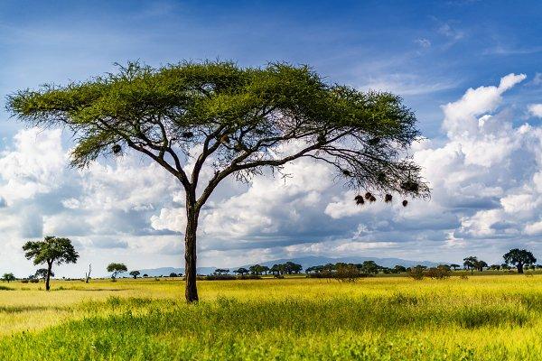 Acacia tree with weaver bird nests