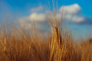 Wheat field and blue sky with clouds above