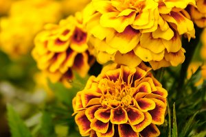 Marigold flowers in summer
