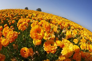 Orange buttercups