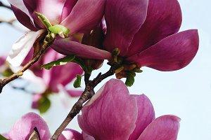 Beatuful purple blooming magnolia