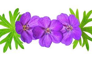 purple Bloody Crane's-bill Geranium