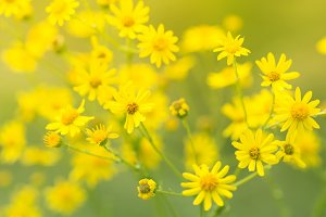 Yellow field of small flowers. Selective soft focus.