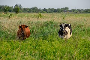 Two cows in the pasture. Brown and black-white cows. Cows look into the camera lens