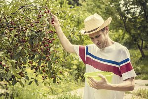 young man in casual clothes and summer hat gathering berries in the garden with basket