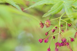 japanese maple in the spring