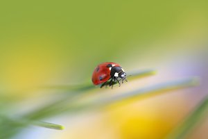 Ladybug in nature. Soft focus.