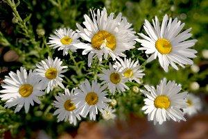 White cheerful daisies at garden