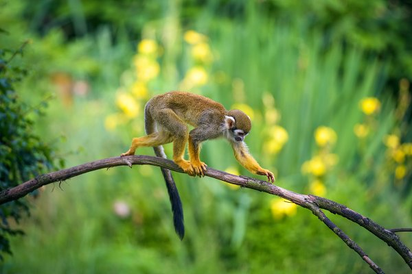 Animal Stock Photos: Nick Fox  - Common squirrel monkey walking on a tree branch