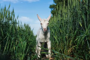goat in a field of wheat