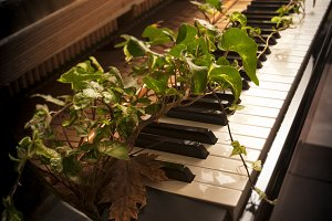 Ivy springs from a piano