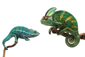Set of 30 photos of chameleon  white