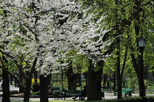 Spring Cherry tree in a park