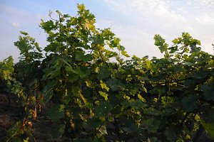 wineyard green