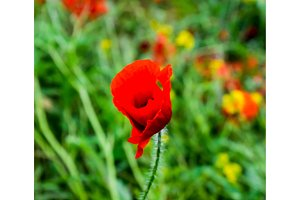 Poppy flowers in the clearing. Blooming red wild poppy. Red poppy flowers