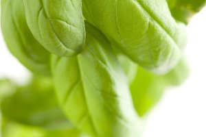 Fresh Basil Plant Leaves Abstract Growing on the Vine.