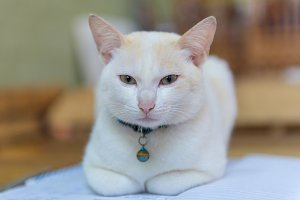 Thai white cat and look at camera