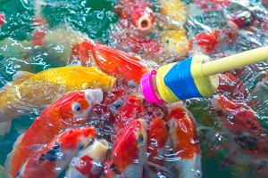 Fancy carp. Many of Japan fish