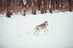 Husky in the white snow