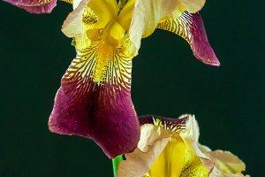 Iris Macro - Stunning