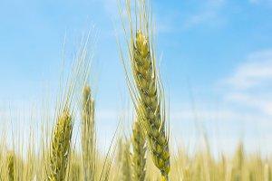 Wheat field in the village