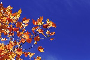 Autumn Leaves in a Blue Sky