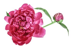 pink peony flower isolated on white background close up