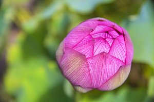 Hot Pink Closed Lotus Bud Flower