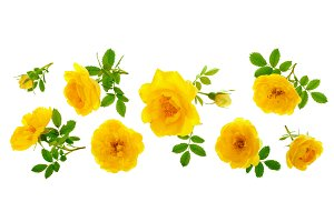 wild yellow rose blooming flower isolated on a white background with copy space for your text. Top view. Flat lay