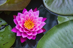 Hot Pink and Yellow Lotus Flower