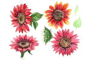 Sunflower red flower watercolor PNG
