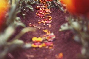 Bright Orange Tulip Farms
