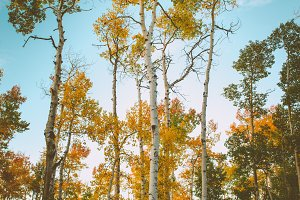 yellow aspens in autumn in colorado