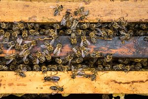 working bees on honeycells