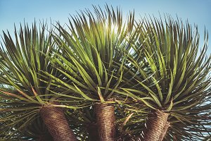 Three branches of a Dragon tree