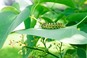 Green caterpillar on lilac leaf