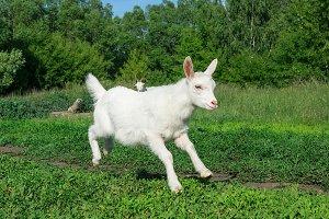 goat in a field of wheat