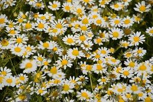 Chamomile flowers. Pharmaceutical camomile. Medicinal plant chamomile, flowering