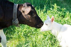 Calf and goat