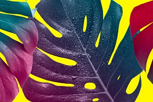 Creative saturated banner. Tropical multicolored monstera leaves