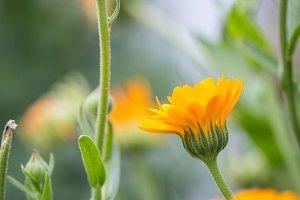 Marigold flowers field.