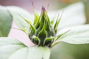 Macro shot of sunflower bud