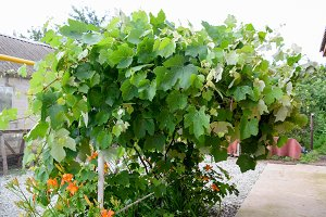 Pavilions with grapes. A lush grape bush
